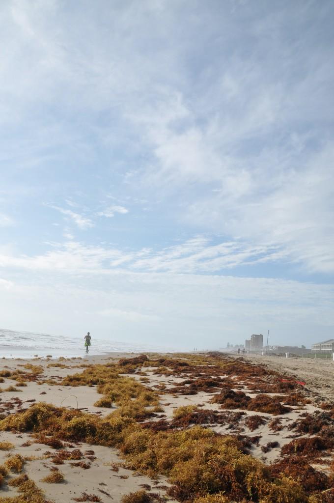 Sargassum seaweed, South Padre Island