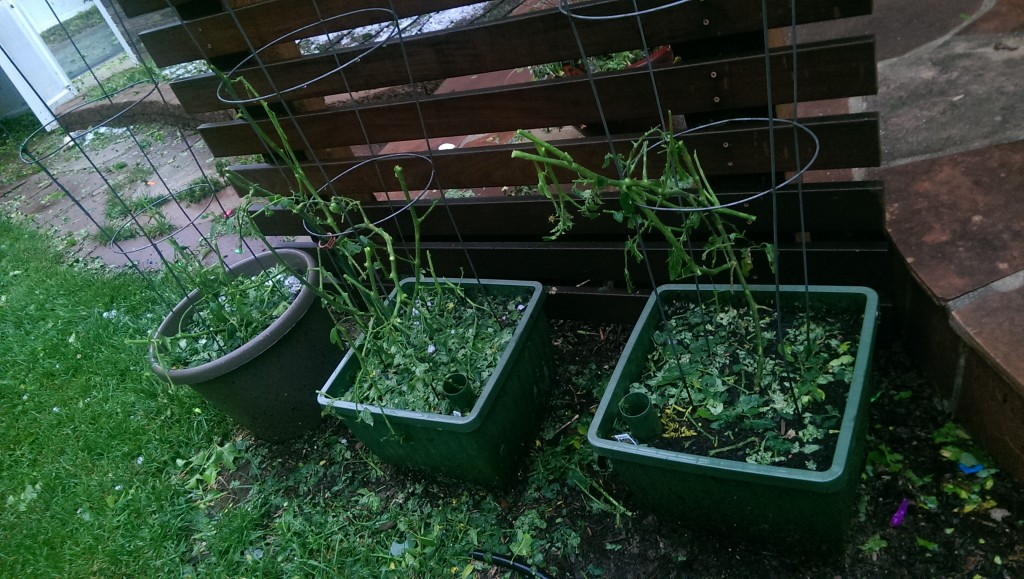 The tomatoes are not quite thriving anymore.