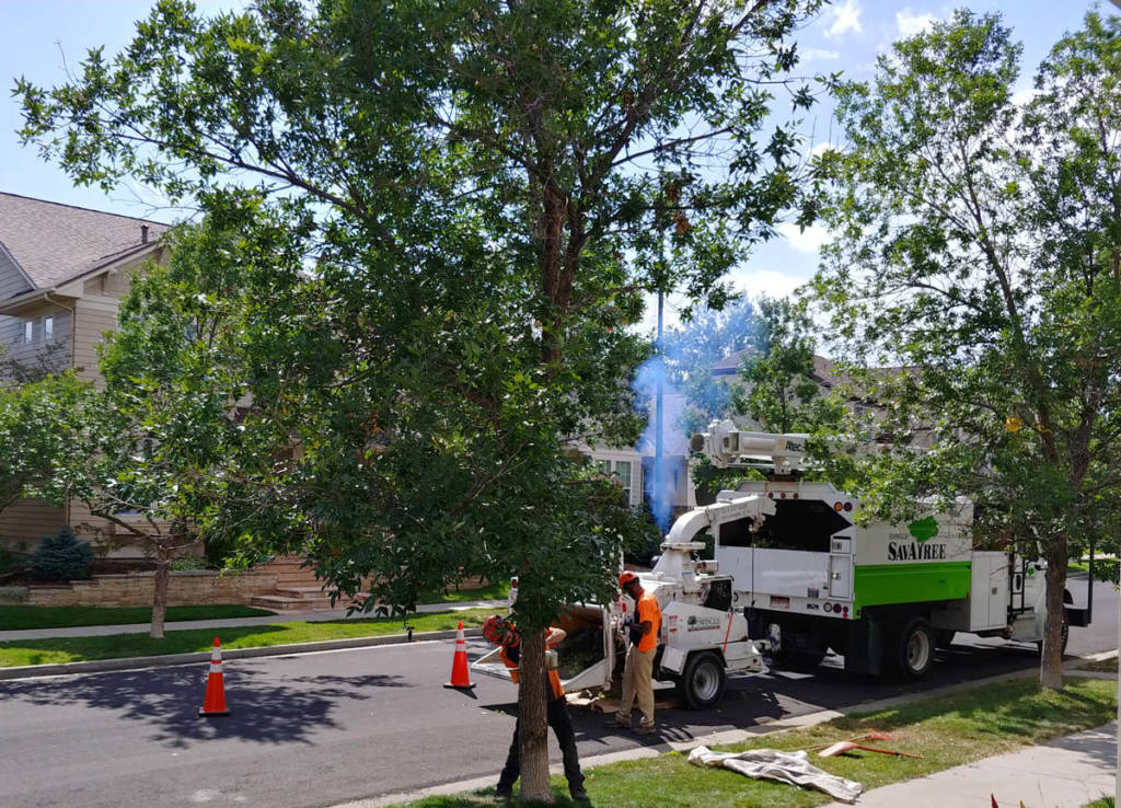 Ash tree being cut down by SavATree experts