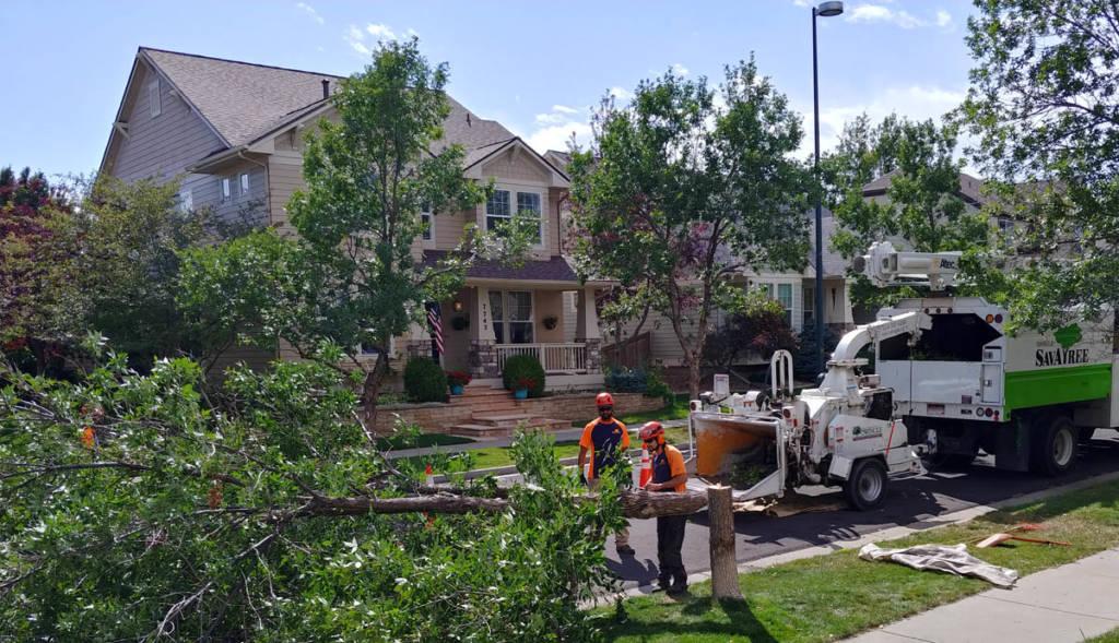Ash tree down
