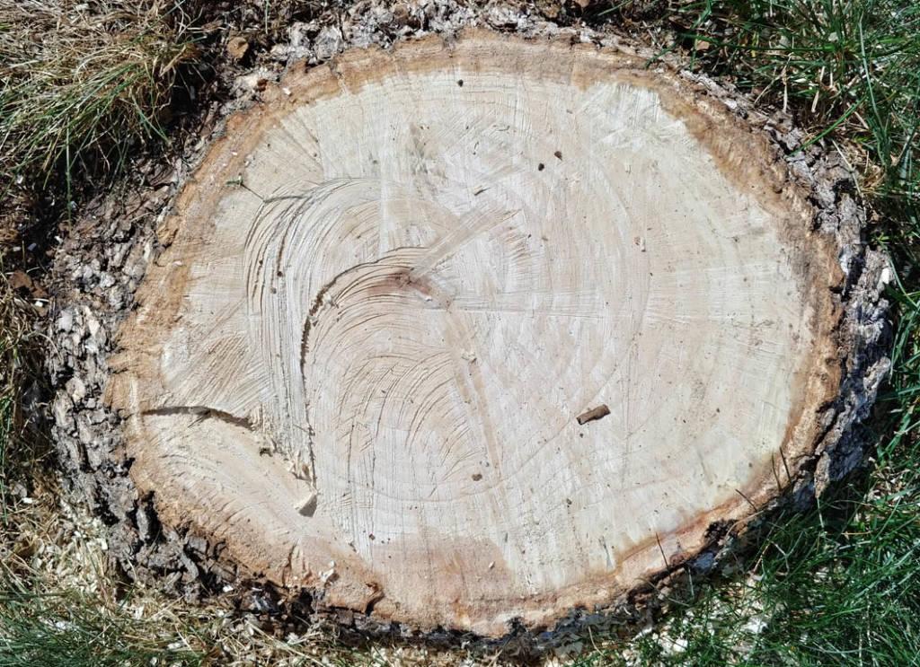 Ash stump pre-stumping